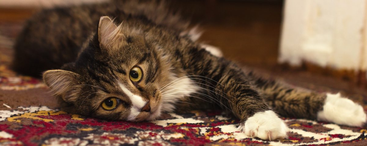 Cat odor fur carpet rug cleaning palm beach gardnes fl