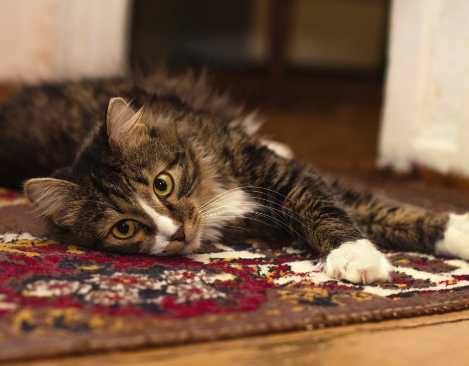 Cat odor fur carpet rug cleaning palm beach gardnes fl | West Palm Beach FL